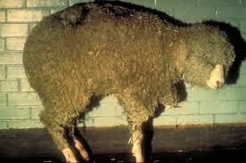 Bluetounge Virus Bluetongue Disease In Sheep Csiro Science Image Csiro Science Image