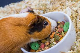 How Much Should You Feed Guinea Pigs Feeding Guinea Pigs