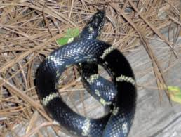 Yellow striped black snake