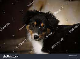 Adorabable Baby Border Collie Dog ...