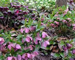 early spring perennials. Perfect Perennials Hellebores Hellebores Are The Earliest Flowering Perennials On Early Spring Perennials B