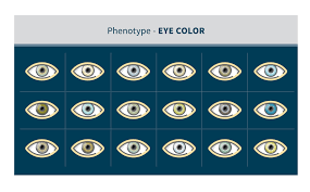 Phenotype What Is A Phenotype Ancestrydna Learning Hub