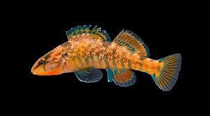 Окуневые рыбы окуневые среда обитания питание строение окрас  Радужная этеостома etheostoma caeruleum фото фотография рыбы