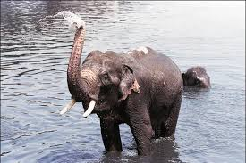 Indias Elephant Population Decreases By 10 To 27 312
