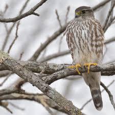 What Is A Hawk Light Merlin Hawk Mountain Sanctuary Learn Visit Join