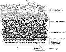 Реферат Строение кожи Клетки Лангергансапроисходят из семейства макрофагов Подобно макрофагам дермы они исполняют роль стражей порядка то есть защищают кожу от внешнего
