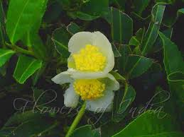 camellia flower anese meaning flowers ideas