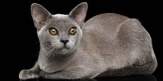 Burmese Kitten Weight Chart Burmese Cat Breed Profile Cat World