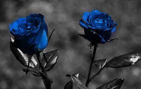 Blue Rose Wallpaper HD