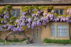 House And Garden 8 Week Feed Chart Alan Titchmarsh A Foolproof Guide To Growing Wisteria