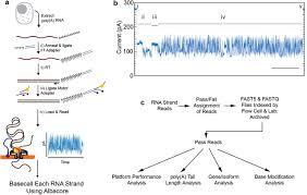 Nanopore Native Rna Sequencing Of A Human Poly A