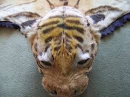 real tiger skin rug roselawnlutheran work started re furring nose eyebrows and ears i use real fur as