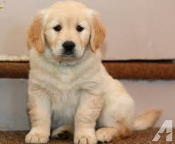 cute golden retriever puppies for sale. Unique For Pets And Animals For Sale In Lewes Delaware  Puppy Kitten Classifieds  Buy Sell Kittens Puppies Americanlistedcom Throughout Cute Golden Retriever Puppies For Sale Lewes Americanlisted Classifieds