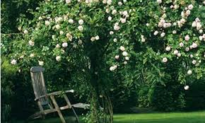 Climbing Roses For Shade U2013 8 Rose Varieties That Grow Well On A Wall Climbing Plants For Shade
