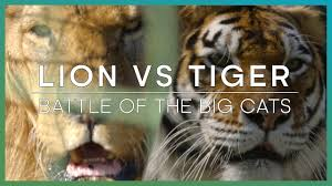 Tiger Vs Jack Chart Lion Vs Tiger Difference And Comparison Diffen