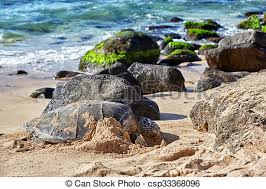 Giant Green Sea Turtle At Laniakea Beach Hawaii