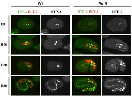 Synmuv B Proteins Antagonize Germline Fate In The Intestine