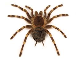 Australian House Spiders Chart Spider Bites In Australia Identification First Aid And