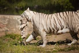white tiger. Unique Tiger White Tiger On A
