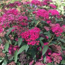 red lace spirea