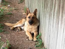 black and brown german shepherd puppies. Plain German Jasper Is A Tan  And Black Brown German Shepherd Puppies N