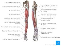 15 photos of the leg bones anatomy diagram. Leg And Knee Anatomy Bones Muscles Soft Tissues Kenhub
