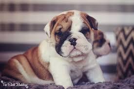 english bulldog puppy 5 weeks old