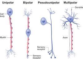 Types Of Neurons Queensland Brain Institute University Of Queensland