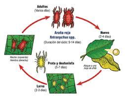 Resultado de imagen de acaros araña roja