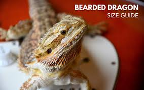 How Big Do Bearded Dragon Get Bearded Dragon Size Guide