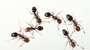 Little Black Ants In Kitchen How To Get Rid Of Stinky Odorous House Ants