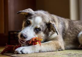 Husky Stock Chart Australian Shepherd Husky Mix The Complete Aussie Husky Dog
