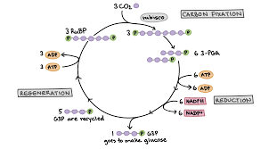 diagram of the calvin cycle ilrating how the fixation of three carbon dioxide molecules allows