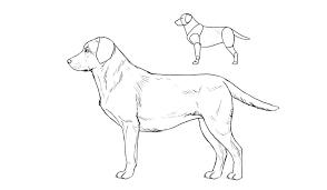 lab dog drawing easy. Plain Dog Howtodrawdogsbreedslabrador On Lab Dog Drawing Easy
