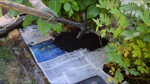 easy organic weed control with newspaper mulch anoregoncottage com