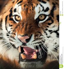 tiger face growling. Simple Face Siberian Tiger Growling Throughout Face A