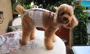 butch_at_nice_and_diapers_slider Do Rites Disposable Doggie Diapers | Premium disposable diapers