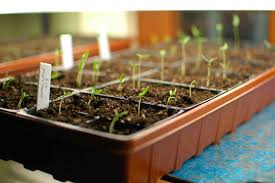 Tomato Seed Growth Chart Tips For Growing Tomato Plants From Seed
