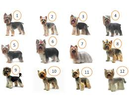 diffe yorkie haircuts pictures