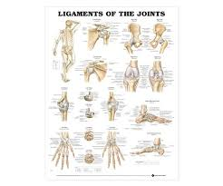 Anatomical Chart Posters Ligaments Of The Joints Anatomical Chart Poster