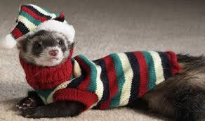 Image result for ferrets in clothes
