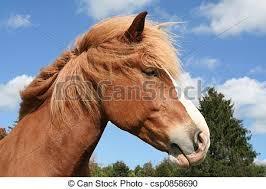 draft horse head profile. Delighful Draft Belgian Horse Profile  Csp0858690 In Draft Head H