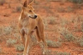 News - Warned Red Abc australian Frisky The On Corporation Broadcasting Campers Dingoes Prowl Centre