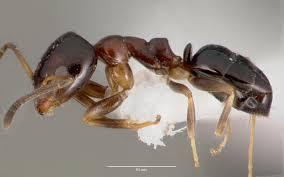 Ochetellus glaber