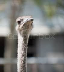 featherless ostrich.  Ostrich Ostrich Large Longnecked African Bird That Does Not Fly And Has Long  Featherless Legs  Stock Photo Colourbox In Featherless Ostrich