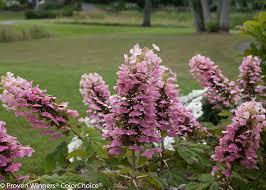 oakleaf hydrangea bountiful blooms