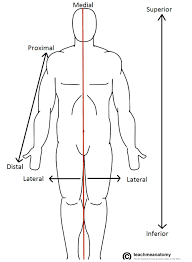 Anatomical Terms Of Location Anterior Posterior