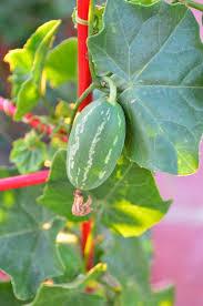 Kitchen Garden Seeds Entertaining From An Ethnic Indian Kitchen Garden Journal