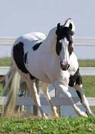 paint horses running in a field. Beautiful Paint This Horse Is Beautiful Black And White Paint Horse Running In Itu0027s Field With Horses Running In A Field C