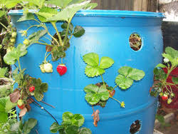 barrel garden. A Strawberry Barrel Provides Room For 40 Or More Plants, So You Can Grow Bounty Of Strawberries In Small Area. Plastic 30- To 55-gallon Barrels Require Garden
